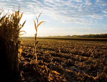 cornfield-dawn_web